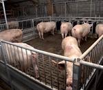 Porc - Mise aux normes