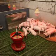 bâtiments porc : En nurserie, l'installation de 2 abreuvoirs, maternité et PS, facilite la transition.